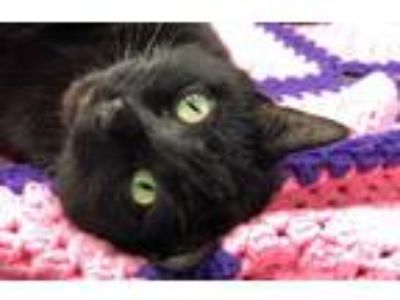 Adopt Willow a All Black Domestic Shorthair / Mixed (short coat) cat in Park