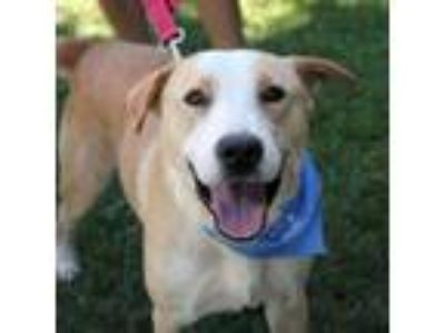 Adopt Fletch - Handsome, Happy Fellow a Yellow Labrador Retriever, Border Collie