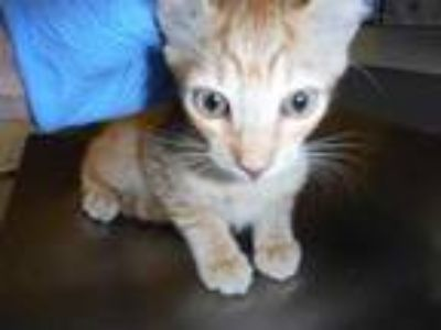 Adopt Harmony a Orange or Red Domestic Shorthair / Domestic Shorthair / Mixed
