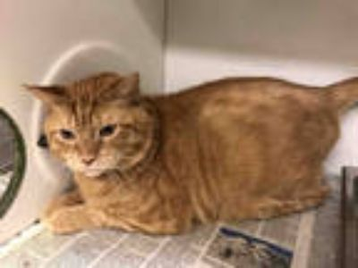 Adopt *TIM TIM a Orange or Red Tabby Domestic Shorthair / Mixed (short coat) cat