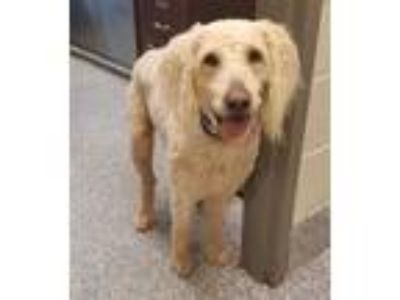Adopt Blue a White Poodle (Standard) / Golden Retriever / Mixed dog in Pickens