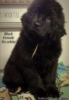 eew Newfoundland Pups Available Now