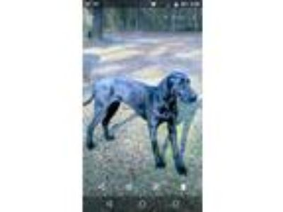 Adopt Gracie a Black Great Dane dog in Prescott, AR (25258515)