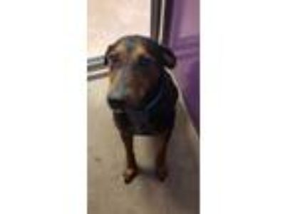Adopt Mason a Black Doberman Pinscher / Mixed dog in Auburn, WA (25309246)