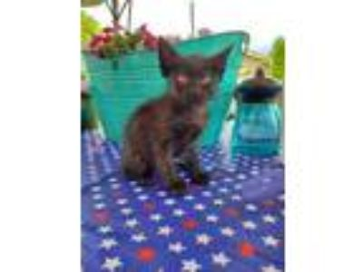 Adopt Lovey a All Black Domestic Shorthair / Domestic Shorthair / Mixed cat in