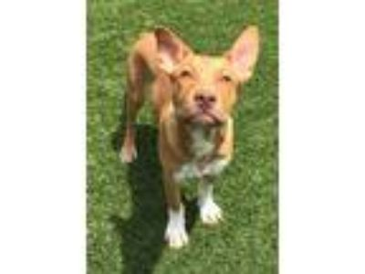 Adopt Marco a Tan/Yellow/Fawn - with White Pit Bull Terrier / Mixed dog in