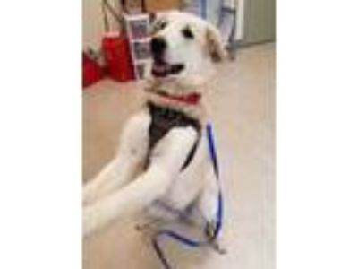 Adopt Lady Bella a White Great Pyrenees / Mixed dog in Hudson, NY (25088906)