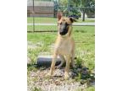 Adopt Ozzy a German Shepherd Dog, Mixed Breed
