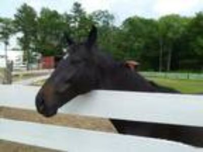 Adopt Tessa a Thoroughbred