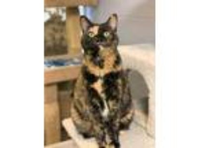 Adopt Bai a All Black Domestic Shorthair / Domestic Shorthair / Mixed cat in