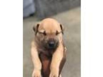 Adopt Aza a Tan/Yellow/Fawn Terrier (Unknown Type, Small) / Mixed dog in St.