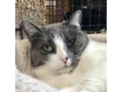 Adopt Whiskey a Gray or Blue (Mostly) Domestic Shorthair (short coat) cat in