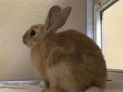 Adopt TOMMY a Red Other/Unknown / Mixed rabbit in Murray, UT (25910738)