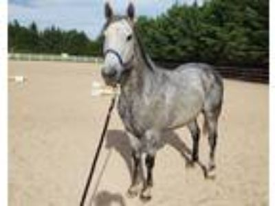 UPDATED Price Reduced Flea Bitten Half Arabian Gelding