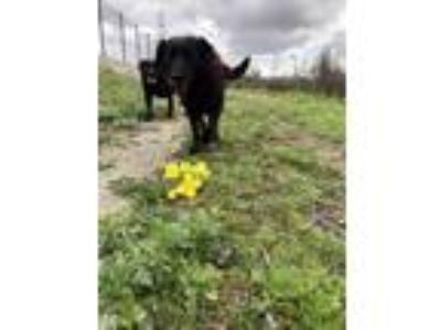 Adopt Luna and Estrella a Black Labrador Retriever dog in Montebello