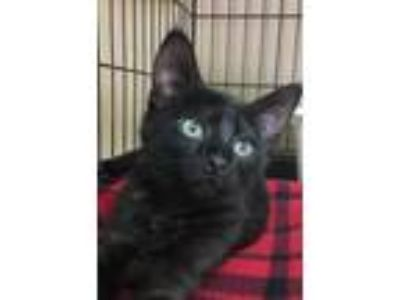 Adopt Nairobi a All Black Domestic Shorthair / Mixed cat in Washougal