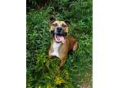 Adopt Koda-URGENT! a Tricolor (Tan/Brown & Black & White) Boxer / Mixed dog in