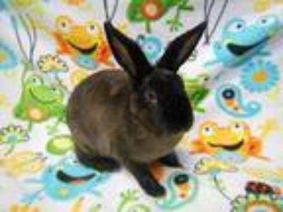 Adopt Brownie a Mini Rex / Mixed (short coat) rabbit in Scotts Valley