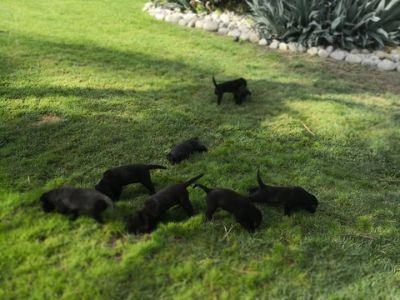 Labrador Retriever PUPPY FOR SALE ADN-93114 - black lab we have 6 of them