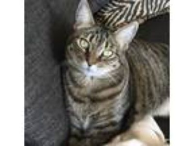 Adopt Cleo a Gray, Blue or Silver Tabby Domestic Shorthair (short coat) cat in