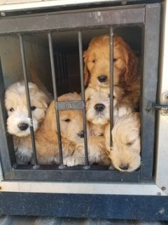 Goldendoodle (Miniature) PUPPY FOR SALE ADN-113625 - Miniature Goldendoodles due Feb 5 2019