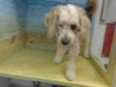 Adopt HELGA a White - with Tan, Yellow or Fawn Poodle (Miniature) / Mixed dog in