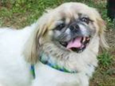 Adopt Yoshi a Tan/Yellow/Fawn - with White Pekingese / Mixed dog in Richmond
