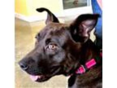 Adopt Georgia a Brown/Chocolate American Pit Bull Terrier / Mixed dog in
