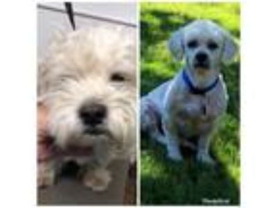 Adopt Kip Williams a White - with Tan, Yellow or Fawn Poodle (Miniature) dog in
