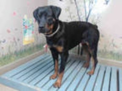Adopt DAISY a Black - with Tan, Yellow or Fawn Rottweiler / Mixed dog in Agoura