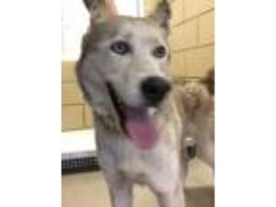 Adopt ALPHA a White Husky / Mixed dog in Mesquite, TX (25591538)