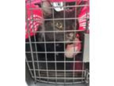Adopt Gargoyle a All Black Domestic Shorthair / Domestic Shorthair / Mixed cat