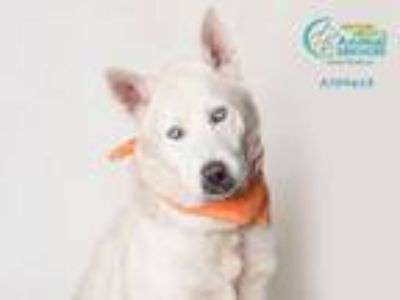 Adopt A709613 a Siberian Husky, Mixed Breed