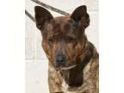 Adopt Dwayne a Australian Cattle Dog / Blue Heeler