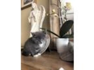 Adopt Mic a Russian Blue, Domestic Short Hair