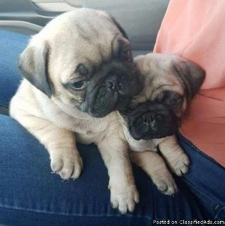 Gorgeous Pug Puppies available