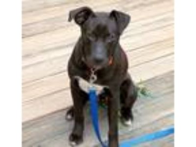 Adopt Charone a Black - with Gray or Silver Labrador Retriever / Mixed dog in