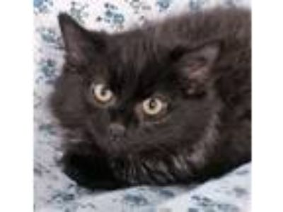 Adopt Radley a Maine Coon, Domestic Long Hair