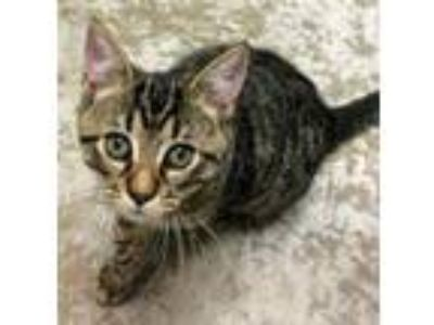 Adopt Alfalfa a Domestic Short Hair