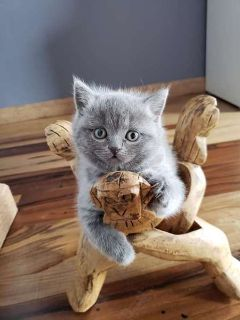 Gorgeous Scottish Fold /Straight kittens with excellent pedigree for sale .Gray