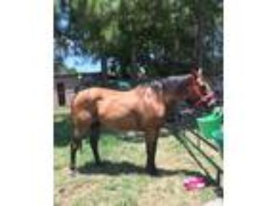 Adopt Rowdy a Bay Quarterhorse / Mixed horse in Baton Rouge, LA (22965893)