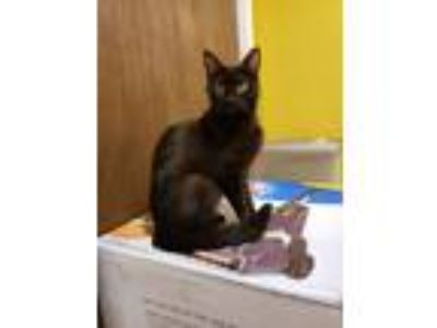 Adopt Mew a All Black Domestic Shorthair (short coat) cat in Glocester