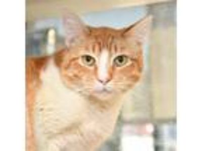 Adopt RHUBARB a Domestic Short Hair