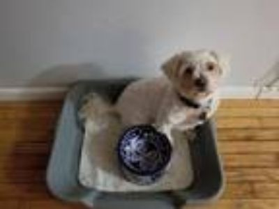 Adopt Noodles #728 a White Poodle (Miniature) / Mixed dog in Arlington Heights