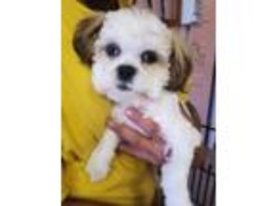 Adopt Timmie a White - with Brown or Chocolate Shih Tzu / Mixed dog in Carson