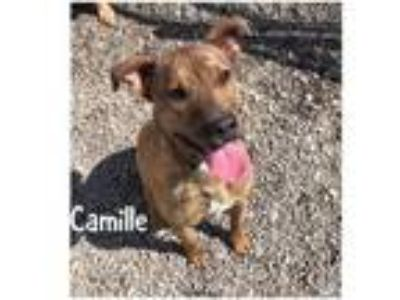 Adopt Camille a Boxer, Mixed Breed