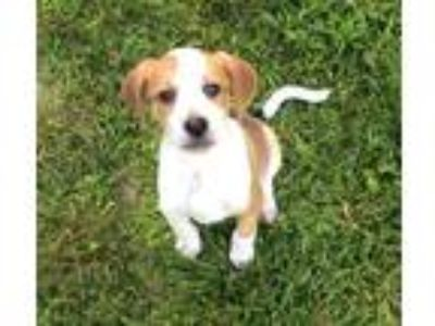 Adopt Puppy Remy a White - with Red, Golden, Orange or Chestnut Hound (Unknown