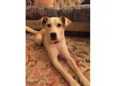 Adopt BROOKLYNN a Brown/Chocolate - with White Labrador Retriever / Mixed dog in