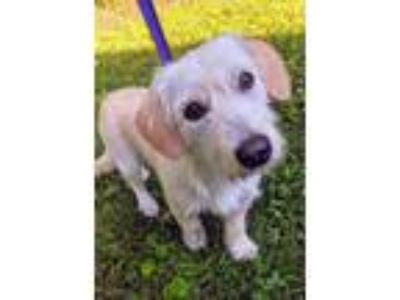 Adopt Bessie a Tan/Yellow/Fawn Terrier (Unknown Type, Small) / Dachshund / Mixed
