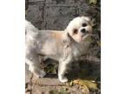 Adopt Seamus a White - with Tan, Yellow or Fawn Shih Tzu / Mixed dog in